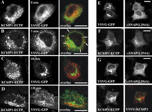 Ts045 VSVG-GFP and KChIP1-ECFP in the secretory pathway and effect of inhibiting traffic. HeLa cells were cotransfected with KChIP1-ECFP and ts045 VSVG-GFP and were incubated at 40°C overnight, which causes retention of ts045 VSVG-GFP in the ER. The temperature was reduced to 32°C and the cells were fixed after various time intervals as indicated in the images. At 40°C, ts045 VSVG-GFP is retained in the ER (A); upon the shift to permissive temperature for 5 min, it exits the ER and appears in punctate structures, which are likely to be post-ER vesicles (B). It then traffics to the Golgi apparatus over the next 60 min (C) and further to the plasma membrane in secretory vesicles over a 120-min period (D). The localization of KChIP1-ECFP and ts045 VSVG-GFP is shown individually and in color overlay (KChIP1-ECFP in red and ts045 VSVG-GFP in green) with colocalization seen in yellow (the arrows point at vesicles that overlap and appear in yellow). (E and F) HeLa cells were cotransfected with plasmids encoding pcDNA3-αSNAP(L294A) and VSVG-GFP (E) or KChIP1-ECFP (F) or were triple-transfected with all three constructs (G). αSNAP(L294A), which was visualized by immunostaining the cells with anti-αSNAP antibody and using Texas red–streptavidin, inhibits vesicular traffic throughout the secretory pathway. Ts045 VSVG-GFP was allowed to traffic at 32°C for 5 h before fixation of the cells. The localizations of the proteins are shown individually and in color overlay with colocalization seen in yellow. Bars, 10 μm.