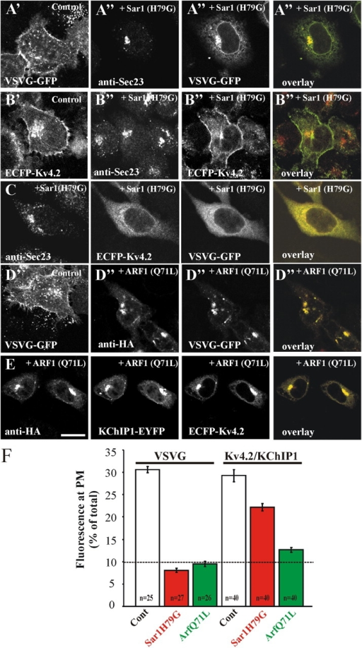 Effect of disrupting COPII or COPI on the traffic of VSVG and Kv4.2 to the cell surface. (A) HeLa cells were transfected to express VSVG-GFP in the absence (A') or presence (A'') of Sar1(H79G). After transfection, cells were maintained at 37°C for 24 h. Sar1(H79G)-transfected cells were stained with anti-Sec23. In cells cotransfected with Sar1(H79G), its effectiveness was checked by examining distribution of Sec23, which became concentrated in a perinuclear region. Traffic of VSVG to the plasma membrane was inhibited by the Sar1 mutant. (B) HeLa cells were cotransfected with KChIP1-EYFP and ECFP-Kv4.2 in the absence (B') or presence (B'') of Sar1(H79G), and its effectiveness was checked by examining distribution of Sec23, which became concentrated in a perinuclear region. Traffic of Kv4.2 to the plasma membrane was not prevented by Sar1(H79G). (C) HeLa cells were transfected to express VSVG-GFP and ECFP-Kv4.2 in the presence of Sar1(H79G). The traffic of both proteins out of the ER was inhibited and they can be seen to be colocalized in the overlay. (D) HeLa cells were transfected to express VSVG-GFP in the absence (D') or presence (D'') of ARF1(Q71L). ARF1(Q71L)-transfected cells were stained with anti-HA to detect the ARF1(Q71L). Traffic of VSVG to the plasma membrane was inhibited by the ARF1 mutant. (E) HeLa cells were cotransfected with KChIP1-EYFP, ECFP-Kv4.2 and ARF1(Q71L). Traffic of Kv4.2 to the cell surface was blocked by ARF1(Q71L). Bars, 10 μm. The color overlays show VSVG-EGFP or ECFP-Kv4.2 in green and anti-Sec23 in red (A and B), VSVG-GFP in green and ECFP-Kv4.2 in red (C) or with anti-HA staining in red (D and E) with colocalization seen in yellow. (F) VSVG-EGFP or ECFP-Kv4.2 fluorescence was imaged in control cells or cells expressing Sar1(H79G) or ARF1(Q71L), and quantified by drawing regions of interest around the outside and the inside of the plasma membrane to allow determination of the percentage of total fluorescence at the plasma membrane. Data derived from the indicated number of cells are expressed as mean ± SEM.