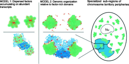 Data presented here support model 2 (center) rather than model 1 (left), and are further summarized at far right. (Model 1) mRNA metabolic factors, including SC-35 (green), accumulate on transcripts (yellow) of a single highly active gene (red, top left) or genomic clusters of genes (bottom left). This model requires no structural organization of genes relative to the large concentrations of splicing factors, which merely reflect the distribution of transcripts on different genes. (Model 2) Multiple genes (center top) cluster at the periphery of a single large accumulation of mRNA metabolic factors. R-band DNA (light blue), which is gene rich, is more intimately associated with these SC-35 domains than gene-poor G-band DNA (dark blue, bottom center). (Right) Each chromosome territory (aqua) associates with three or four SC-35 domains, indicating specialized regions at the chromosome territory periphery. These contain domain-associated genes that can even come from different chromosome arms. An SC-35 domain can also associate with genes from different chromosomes. Because domain choice for individual genes is often random, the relative positions of their respective chromosomes also may be highly variable.