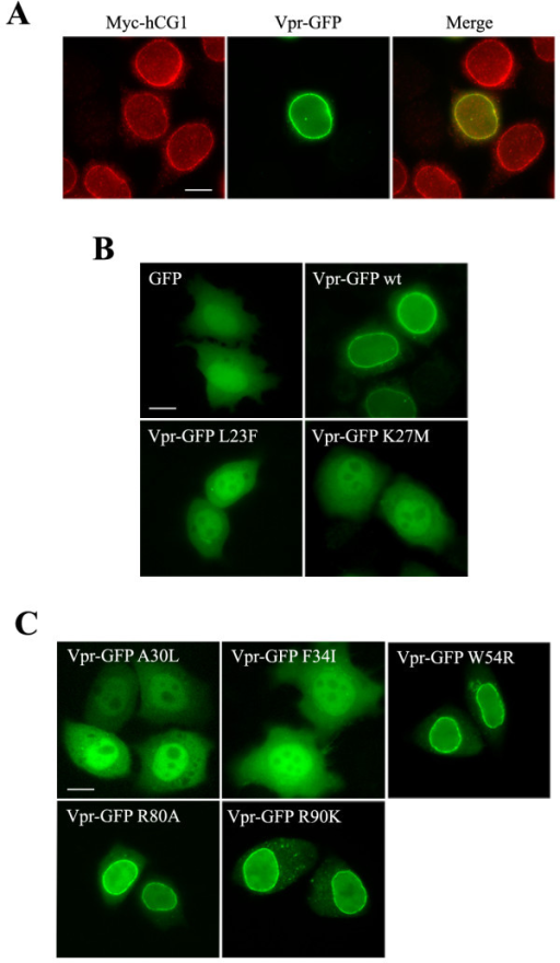 Subcellular distribution of the Vpr mutants. A) Colocalization of Vpr and hCG1 at the NE. HeLa cells co-expressing Vpr-GFP (middle row) and Myc-hCG1 (left row) fusion proteins were permeabilized with digitonin, fixed, and subsequently stained with an anti-Myc monoclonal antibody. B and C) Localization of wt and mutated Vpr-GFP fusions. HeLa cells expressing either GFP, wt Vpr-GFP, or the indicated Vpr-GFP mutants were fixed and directly examined. Cells were analyzed by epifluorescence microscopy, and images were acquired using a CCD camera. Scale bar, 10 μm.