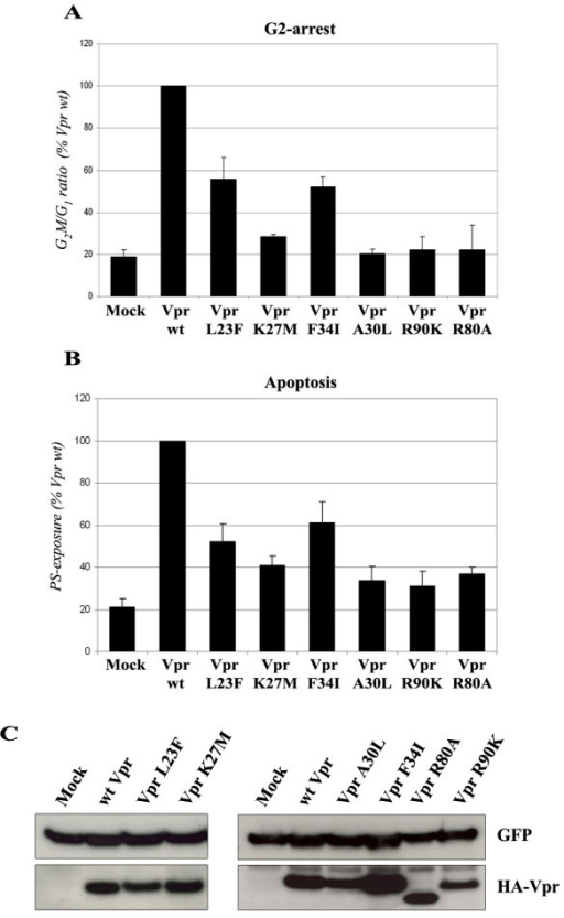 G2-arrest and pro-apoptotic activities of the Vpr mutants. HPB-ALL T cells were transfected with the HA-tagged Vpr (wt or mutated) expression vectors in combination with the GFP expression vector. A) G2-arrest activity. The DNA content was analyzed 48 h after transfection by flow cytometry on GFP-positive cells after staining with propidium iodide. Results are expressed as the percentage of the G2M/G1 ratio relative to that of the wt HA-Vpr. Values are the means of four independent experiments. Error bars represent 1 standard deviation from the mean. B) Pro-apoptotic activity. Cell surface PS exposure was analyzed 72 h after transfection by flow cytometry on GFP-positive cells after staining with phycoerythrin-labelled Annexin V. Results are expressed as the percentage of GFP-positive cells displaying surface PS exposure relative to that measured with wt HA-Vpr. Values are the means of four independent experiments. Error bars represent 1 standard deviation from the mean. C) Expression of wt and mutated HA-tagged Vpr proteins. Lysates from HPB-ALL transfected cells were analyzed by western-blotting using anti-GFP (upper panels) and anti-HA antibodies (lower panels).