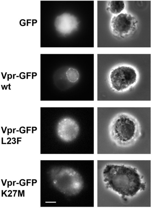 Subcellular localization of wild type Vpr and Vpr mutants in human monocyte-derived-macrophages. MDMs expressing either GFP, wt Vpr-GFP, or the indicated Vpr-GFP mutants were fixed and analyzed by wide-field microscopy. Z stacks of fluorescent images were acquired using a piezo with a 0.2 μm increment and one medial section is shown (left panels). Phase contrast images of the same cells were acquired to identify the nucleus (right panels). Scale bar, 5 μm.