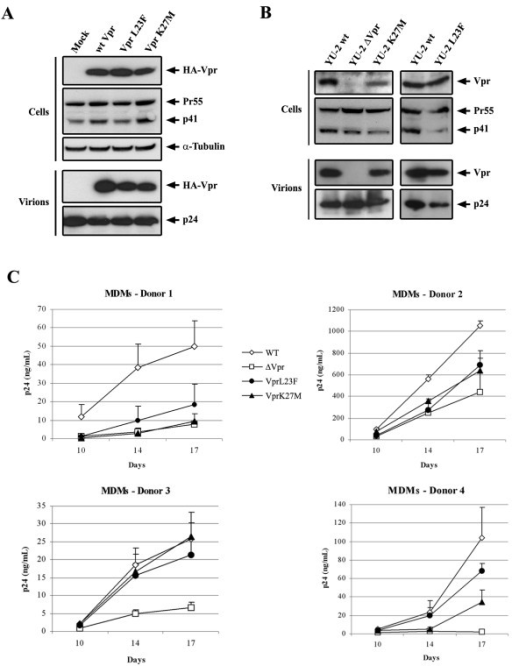 Impact of the Vpr mutations on HIV-1 replication in monocyte-derived macrophages. A) Packaging assay of the wt and mutated HA-tagged HIV-1 vpr into virus like particles. 293T cells were transfected with an HIV-1-based packaging vector lacking the vpr gene in combination with vectors for expression of the wt or mutated HA-tagged Vpr protein. 48 h later, proteins from cell and virion lysates were separated by SDS-PAGE and analyzed by Western blotting with anti-HA and anti-CAp24 antibodies. B and C) The L23F or K27M mutations were introduced into the vpr gene of the HIV-1YU-2 molecular clone. In B) Lysates from transfected 293T cells and virions isolated from cell supernatants were subjected to SDS-PAGE followed by Western blotting, using a rabbit polyclonal anti-Vpr and a mouse anti-CAp24 (provided from the NIH AIDS Research and Reference Reagent Program). In C) Replication of wild type and mutated HIV-1 in monocyte-derived macrophages. The wild type HIV-1YU-2 (WT, open diamonds) and the vpr-defective (ΔVpr, open squares), Vpr-L23F (black circles) and -K27M (black triangles) mutant viruses were produced by transfection of 293T cells with proviral DNAs. Monocyte-derived macrophages from four healthy donors were infected in triplicates with 0.5 ng of CAp24. Virus production was then monitored by measuring the p24 antigen by ELISA 10, 14 and 17 days after infection. Results are expressed as the level of p24 in the supernatants of infected cells. Values are the means of four experiments and error bars represent 1 standard deviation from the mean.