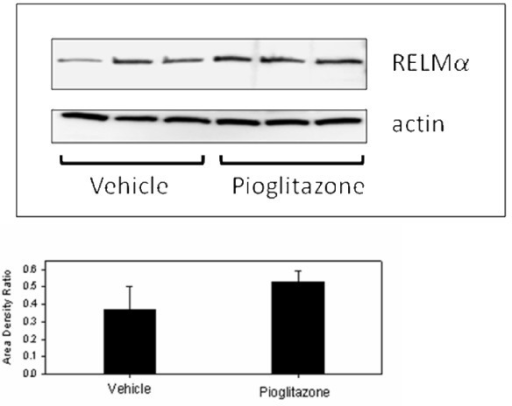 Western blot of RELMα immunoactivity in vehicle- and pioglitazone-treated LY mice. Beta-actin immunoactivity was used as a loading control. Bar graph depicts the mean (+ SD) ratio of intensity of RELMα-to-actin bands. There was no significant difference in band intensity between groups.