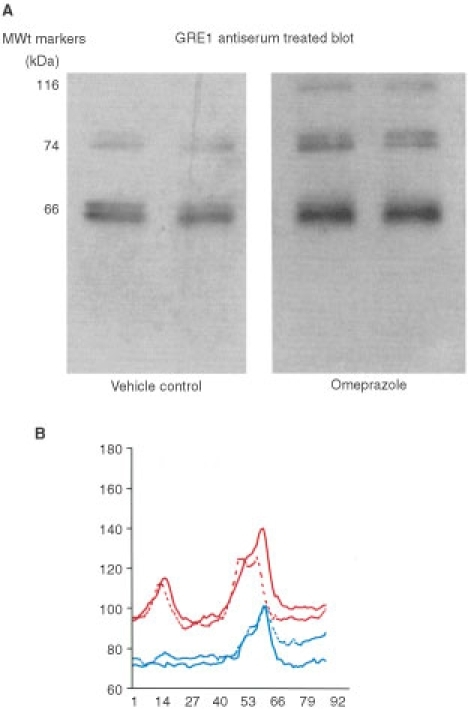 Western blot analysis showing CCK-2 receptor immuno-reactivity of human colonic adenoma xenografts. (A) Western blots (±omeprazole treatment). (B) Densitometry scans of the immunoreactive bands generated from the Western blots. Red line: imunoreactive bands from grafts obtained from omeprazole-treated mice. Blue line: immuno reactive bands from grafts obtained from vehicle-treated mice.
