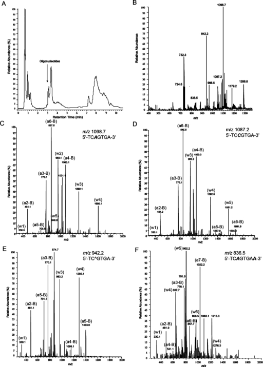 LC-ESI/MS/MS analysis of products from the in vitro replication of M1dG containing DNA templates by human DNA polymerase η. (A) Total ion current trace. (B) Total mass spectrum of the mixture of M1dG bypass products. (C) CID spectrum of m/z 1098.7 with sequence TCAGTGA. (D) CID spectrum of m/z 1087.2 with sequence TCCGTGA. (E) CID spectrum of m/z 942.2 with sequence TC∧GTGA. (F) CID spectrum of m/z 836.5 with sequence TCAGTGAA. DNA bases shown in bold italic were incorporated opposite M1dG lesions in the template DNA.