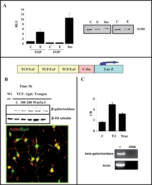 Estradiol increase TCF/LEF-dependent transcription in cortical neurons.(A)-Cortical neurons from E18 embryos were nucleofected with TOPFlash or FOPFlash reporter plasmids and luciferase activity was analyzed after 2DIV. Estradiol treatment (60 min, 100 nM) selectively increased transcription from the TOPFlash reporter plasmid compared to FOPFlash, which shows no activity. Insulin treatment (5 µg/ml) was used as a control of induction. (B–C)- Expression of the LacZ gene in response to estradiol in transgenic mice. The scheme represents the lacZ transgene under the control of three consensus TCF/LEF-binding motifs upstream of the c-fos promoter, as described in Materials and Methods. (B)-Upper panel. Total extracts of cortical neurons (2DIV) were obtained from a TCF/LEF-lacZ transgenic mouse (see Materials and Methods) and the β-galactosidase (β-gal) expression was assessed in western blots after estradiol treatment (100–200 nM) for 3 h. Wnt3a (20 ng/ml) was used as a control of TCF-mediated induction. A slight increase in β-gal protein was observed after exposure to estradiol, as with recombinant Wnt3a protein. (B), Lower panel. Basal expression of β-galactosidase in neurons from transgenic mice was assessed by immunocytochemistry using specific antibodies against β galactosidase (green) and Phalloidin-labelled with Alexas 549. (C), Alternatively, after treatment with estradiol or Wnt3a, total Lac Z expression was quantified by RT-PCR using specific β-gal oligonucleotides and using actin (a housekeeping gene) as an internal standard (see Methods). The amplification of both genes was analyzed on agarose gels and the graph represents the normalized data obtained from the Lightcycler analysis. Both treatments clearly increase transcriptional activity when compared to controls.