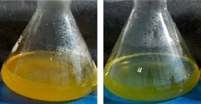 Culture flasks containing D. salina cells cultured under carotenogenic conditions and exposed to mevinolin (uninterrupted synthesis of β-carotene, left)  and to fosmidomycin (blocked synthesis of β-carotene, right) respectively.