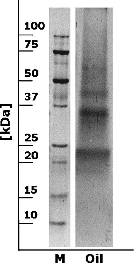 Colloidal gold-stained Western blot of crude hazelnut oil extract (M = molecular mass marker, Oil = hazelnut oil extract)