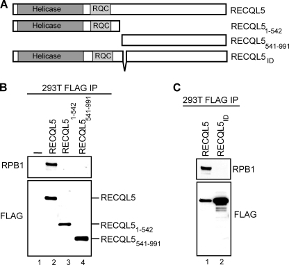 A central 9-amino acid sequence is essential for RNAPII-RECQL5 interaction in vivo. A, diagram describing the constructs used. B and C, Western blots of FLAG-tagged immunoprecipitations (IP) showing interactions between different forms of FLAG-tagged RECQL5 and RNAPII, using FLAG and RPB1 antibody, respectively.