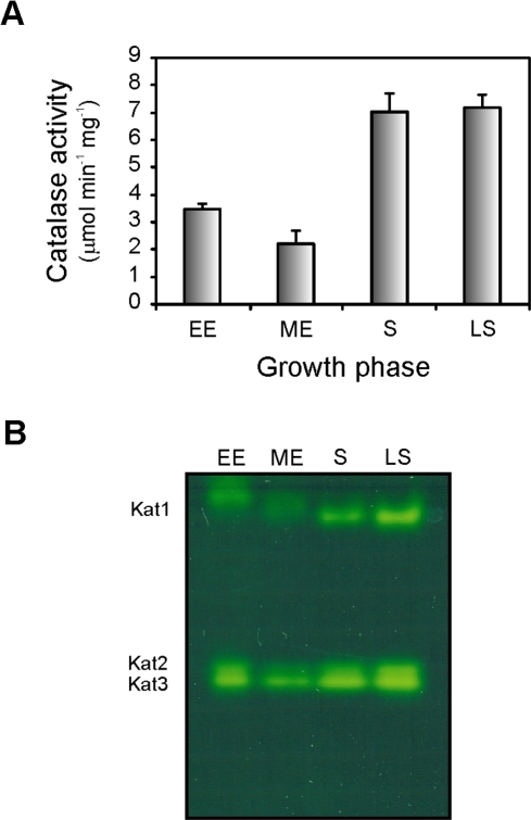 Catalase activity in Xac as influenced by the growth phase.(A) Xac cultures were grown aerobically in SB medium to early exponential (EE, 4 h), mid-exponential (ME, 8 h), stationary (S, 24 h) and late stationary (LS, 48 h) phases, and soluble extracts were prepared as described in Materials and Methods. Total catalase activity was assayed as described by Beers and Sizer [18] with 10 mM H2O2 at 25°C. (B) Equal amounts of protein (25 µg) were separated by 8% non-denaturing PAGE and stained for catalase activity by the method of Scandalios [19]. A simultaneously run Coomassie-stained gel (not shown) indicated equal protein loadings between samples. The positions of the electrophoretically discernible catalase species Kat1, Kat2, and Kat3 are indicated.