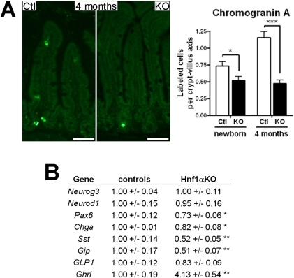 Loss of Hnf1α leads to deregulation of enteroendocrine cell production.(A) Chromogranin A immunodetection was performed on ileum tissue sections. Representative micrographs and statistical analyses of the number of positive labeled-cells per crypt-villus axis. n = 3-4; average of 40 crypt-villus axis per mouse. (B) qRT-PCR analysis performed on total RNA extracts from 4-month-old mice (means +/- SEM). n = 5-10. *P<0.05; **P<0.01; ***P<0.001.