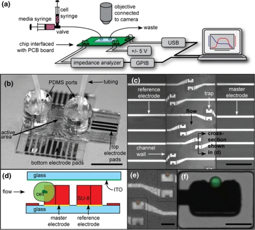 a Overview of the experimental setup. The microfluidic device is mounted on a PCB board, which makes electrical connections to the chip and interfaces to a computer and the impedance analyzer. A microscope is used to image the device, and a syringe pump to flow cells and media. b Image of a device with tubing attached via PDMS ports, scale bar = 1 cm. c Photograph of the channel containing multiple trapping sites, each of which has a pair of electrodes/traps, scale bar = 250 μm. d Schematic cross section of the trapping region showing the two electrodes used for differential measurements. e Image of traps with 15 μm beads captured in traps above master electrodes. Note that the reference traps are empty, because they face downstream. f Image of a trapped single HeLa cell, labeled with Celltracker™, scale bar = 30 μm