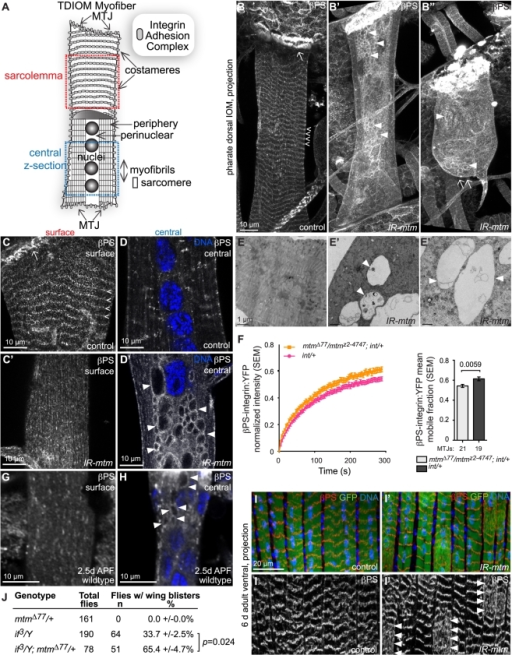 Mtm is required for βPS-integrin flux from intracellular compartments and localization at sarcolemmal adhesions.(A) Schematic of individual pharate IOM and regions imaged. MTJ, myotendinous junction. (B–B″) βPS-integrin in IOM z-projections. (B) βPS-integrin at MTJs (arrow) and costameres (open arrowheads) in control. (B′–B″) With mtm RNAi, βPS-integrin was absent from detached ends (B″, arrow) and costameres, and detected on abnormal inclusions (arrowheads). (C–C′) IOM sarcolemma highlighting βPS-integrin at costameres in control (C, open arrowheads), absent with mtm RNAi (C′). (D–D′) IOM central z-sections revealing βPS-integrin punctae in control (D), and accumulation on abnormal inclusions with mtm RNAi (D′, arrowheads). DNA, blue. (E–E′) Transmission electron microscopy of IOM cross-sections, showing densely packed central regions in control (E) and large lucent membrane compartments with mtm RNAi (E′, arrowheads). (F) Averaged FRAP recovery curves and mean mobile fraction for larval βPS-integrin:YFP (int/+) in wildtype background (pink) and trans-heterozygous  mtmΔ77/mtmz2-4747 (orange). (G) Little to no βPS-integrin present at the sarcolemma in wildtype pupal IOM, 2.5 days APF. (H) βPS-integrin on central inclusions (arrowheads) detected in wildtype pupal IOM, 2.5 days APF. DNA, blue. (I–I′) βPS-integrin (red, and single channel below) at costameres in z-projections of adult abdominal lateral transversal muscles (I), and sporadically absent from costameres and dispersed in regions of myofibers with mtm RNAi (I′) in 6 day old adult flies. GFP, green; DNA, blue. DMef2-GAL4. (J) Heterozygous mtmΔ77/+ enhanced frequency of adult wing blisters in hemizygous if3/Y flies. Scale bars 10 µm, except E–E′ 1 µm.