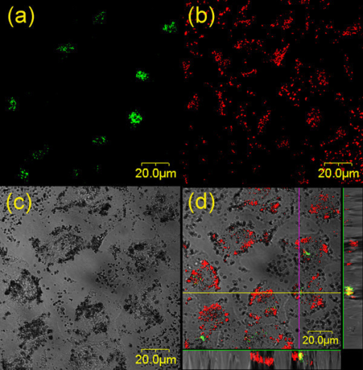 Micrographs of the distributions of Golgi complexes and TiO2 nanoparticles in HeLa cells. (a) The distribution of Golgi complexes (green), (b) the distribution of TiO2 nanoparticles (red), (c) differential interference contrast (DIC) micrograph, and (d) the merged image of (a), (b), and (c), in which the yellow color denotes the co-localization of TiO2 nanoparticles with Golgi bodies. The images displayed at the bottom and right side of (d) were the X-Z and Y-Z profiles measured along the lines marked in the main image, showing the 3D distributions of TiO2 and Golgi bodies.