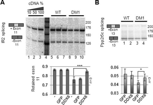 DDX6 expression partially rescues DM1-specific mis-splicing. (A) Total RNA from FLAG-DDX6- or GFP-expressing cells was isolated and subjected to semi-quantitative RT-PCR amplifying Insulin Receptor 2 (IR2) amplicons either lacking (bottom bands) or retaining exon 11 (top bands) and these were quantified from three independent experiments (quantified in lower panel). (B) Same as (A) but for ppp2r5c cDNA. Error bars indicate standard deviation from triplicate experiments. Significance was determined by two-sided Student's t-test, where '*' denotes P < 0.05 and '***' denotes P < 0.001.
