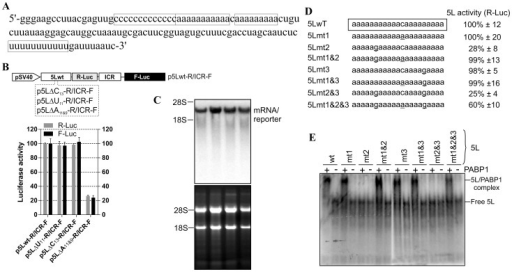 Effect of deletions of the internal homo-polymeric sequences on the activity of the 5L IRES and mutation analysis of affinity interaction between the 5L IRES and PABP1.(A) Partial sequence from the full length 5L IRES from the immediate-early 1.8-kb mRNA that encodes pp14b isoform from Marek's disease virus serotype 1. The 5L IRES spans nucleotides 129339-129798 (acc: AF243348). The internal poly-pyrimidine sequences C13 and U11 are boxed as well as the internal poly(A) sequences A11 and A9. (B) Schematic of the DNA constructs used for the luciferase reporter assay. In this vector the translation of R-Luc is controlled by the 5L IRES whereas the F-Luc is under the control of the intercistronic IRES (ICR). This configuration mimics the dual IRES bicistronic 1.8-kb mRNA from MDV1. DF-1 cells were transiently transfected with the indicated DNA vectors and after 24 h the cells were lysed and the luciferase activities were measured. The results are expressed as per cent change in luciferase activity relative to the control wild type sequence (5Lwt). (C) Northern blotting was performed on total RNA extracted from cells transfected with DNA constructs depicted in B. Hybridization was done with a random-primed 32P-labelled DNA fragment corresponding to the 5' end of the F-Luc open reading frame. Ethidium bromide-staining of the gel used for Northern blot is shown below the blot with 18S/28S rRNAs as size markers and loading control. (D) The mutated nucleotides within the internal poly(A) from the 5L IRES are underlined. The corresponding DNA vectors were used to transfect DF-1 cells as described in B. For simplicity, only the R-Luc values are shown as the F-Luc follows the same trend due to the coevolved synergistic functional relationship between the 5L IRES and the ICR IRES. The results are expressed as per cent change relative to the control wild type sequence (5Lwt). The experiment was repeated three times and the SEM is shown. (E) Purified recombinant human PABP1 (0.5 µM) was incubated with 32P-end labelled 5L IRES RNAs from wild type or from the indicated mutants and separated on a native 6% polyacrylamide gel by Electrophoretic Mobility Shift Assay (EMSA). It should be noted that the RNA was obtained by in vitro transcription and that it has no 3' poly (A) tail. The complex between PABP1 and the 5L IRES RNA was visualized by autoradiography using phosphor screen. The complex 5L IRES/PABP1 is observed in all combinations except with the mutants 5Lmt2 and 5Lmt2&3.