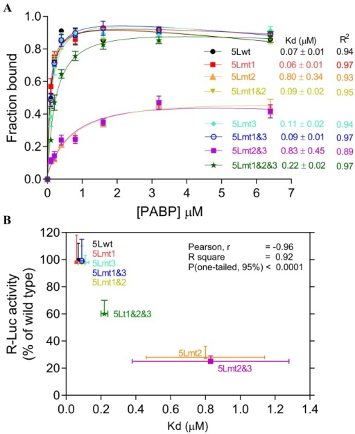 Effect of mutations within the internal poly(A) sequences on the binding affinities of the 5L IRES to the PABP1.(A) Binding affinities between recombinant PABP1 and 32P-end labelled wild type and mutant 5L IRES sequences showing the fraction bound for each concentration of PABP1. The apparent dissociation constants are shown to the right with SEM from three repeats. (B) Correlations between binding affinities in panel A and the R-Luc activity as determined by transfection and reporter assay from panel D of Fig. 1.