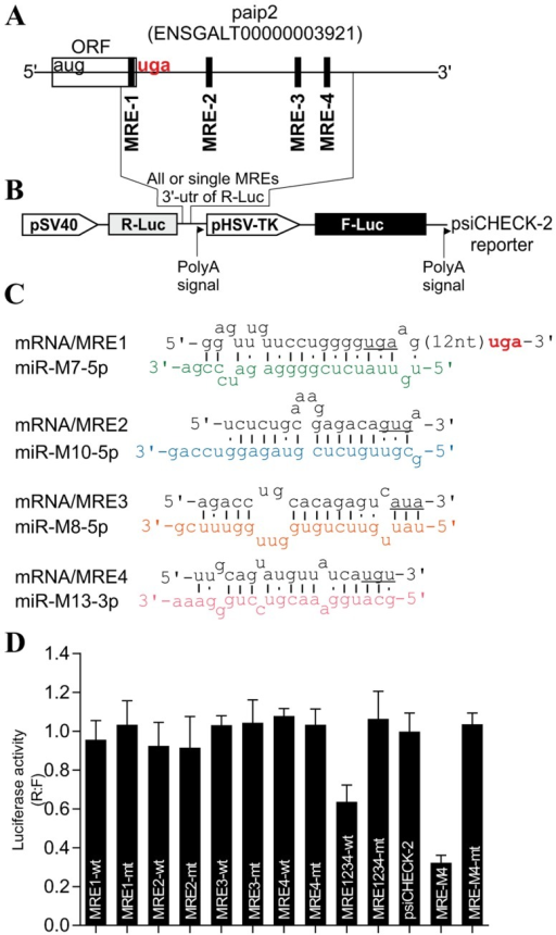 MDV1-encoded miRNAs target PABP1-interacting protein 2, paip2.(A) The paip2 transcript showing paip2 open reading frame (ORF), the 3' untranslated region (UTR) and the miRNA response elements (MRE). (B) Schematic of the reporter construct containing individual or combined MREs sequences downstream of the simian virus 40 promoter-driven Renilla luciferase cassette from psiCHECK-2 vector. (C) The predicted duplexes between paip2 mRNA and MDV1 miRNAs. The mutated nucleotides within the seed regions of paip2 mRNA are underlined. (D) Luciferase-based miRNA reporter assay. The full length region from the paip2 mRNA that contains all the MREs or the individual MREs and their mutated versions were made as synthetic oligonucleotides and sub-cloned into the sensor plasmid downstream of the Renilla luciferase in psiCHECK-2 vector. The resulting constructs were used to transfect MSB1; an MDV1-transformed CD4+ T-cell line derived from a spleen lymphoma induced by BC-1 strain of MDV1 constitutively expressing viral miRNAs. As positive control for assay validation we have used MRE-M4 that was previously shown to be targeted by MDV1 miRNA-M4. The normalized Renilla luciferase activities from five experiments are shown with the error bars (SEM) relative to that seen for the empty vector psiCHECK-2 which value is set to 1.