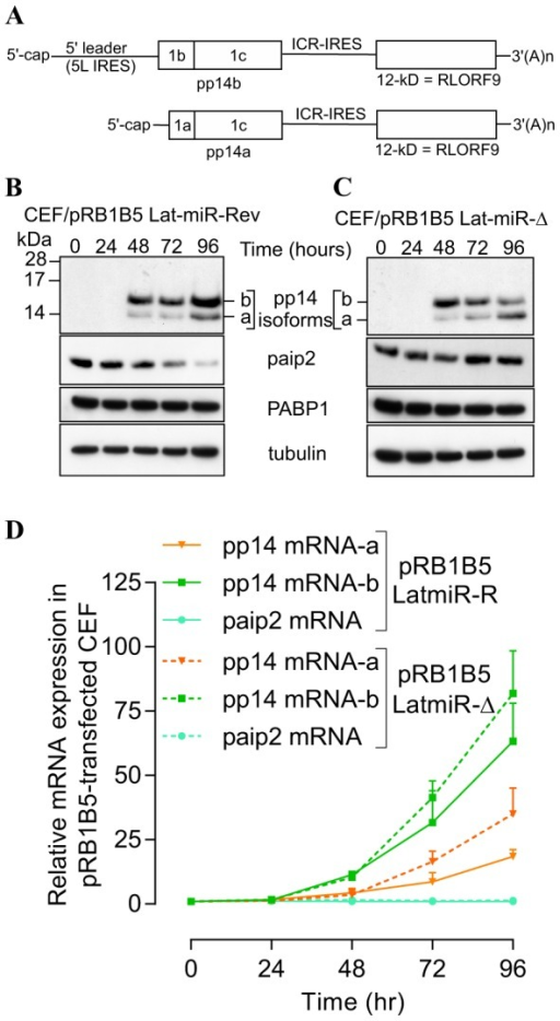 Reverse genetic mutation analysis shows that MDV1 miRNAs from Lat-cluster are responsible for paip2 repression.(A) Schematic representation of the bicistronic transcripts that we and others have cloned as cDNA and that encode for pp14a and pp14b isoforms, modified from Tahiri-Alaoui et al, J. Virol. Dec. 2009, Vol.83, No. 24, p12769-12778. (B) & (C) Chicken embryo fibroblasts (CEF) were transfected with BAC clone pRB1B5 Lat-miR-Revertant or pRB1B5 Lat-miR- deletion, respectively. RNA and proteins were simultaneously extracted using Trizol at the indicated time points. Viral and host proteins were detected by immunoblotting with the indicated antibodies. (D) Quantitative RT-PCR of host (paip2) and of viral transcripts (pp14a and pp14b isoforms) at the indicated time points. GAPDH is used as the endogenous control and time zero is used as the calibrator. All experiments were repeated three times and the error bars indicate the SEM.