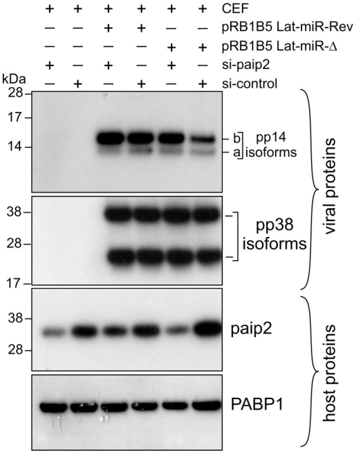 Depletion of paip2 by RNA interference in cells infected with Lat-miR BAC mutants.Chicken Embryo Fibroblasts were co-transfected with BAC clone of pRB1B5 Lat-miR-Revertant, pRB1B5 Lat-miR- deletion, si-paip2 RNA or siRNA control as indicated. The cells were lysed 72 hours post-transfection and the extracts were analysed by immunoblotting with the indicated antibodies against viral as well as host proteins.