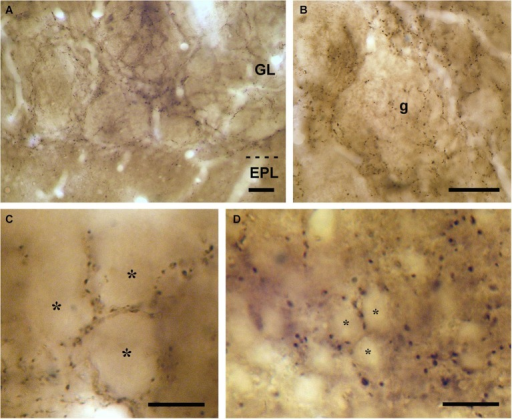 VAChT-staining in the glomerular layer under light microscopy. (A) Low-magnification view of the glomerular layer (GL) showing VAChT-containing puncta. Note the low density of staining found in the external plexiform layer (EPL). (B) Detailed view of an olfactory glomerulus (g). The VAChT-containing fibers run throughout the periglomerular region and also innervate the glomerular neuropil. (C) High-magnification view of the neuropil of an olfactory glomerulus revealing that the VAChT-containing puncta appear restricted to strands surrounding neuropil compartments where no VAChT-containing puncta are found (asterisks). (D) High-magnification photomicrograph taken from the periglomerular region of the glomerular layer showing the somata of immunonegative neurons (asterisks) surrounded by VAChT-containing puncta. Scale bars: 30 μm in (A) and (B); 15 μm in (C) and (D).