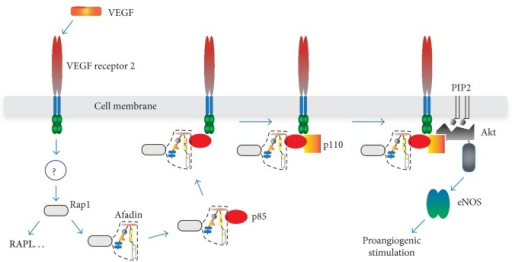 Proposed function of afadin in the VEGF or S1P receptor signaling during AG. In HUVECs, activated Rap1 (by still unknown mechanism) binds and recruits afadin to cell membrane where the complex between VEGF receptor, afadin, Rap1, and sequentially p85 and p110 subunits of PI3K assembles. Activated PI3K phosphorylates Akt and downstream signaling follows. Similar events occur after S1P receptor activation (not drawn). In addition, Rap1 stimulates different proteins (e.g., RAPL) that may contribute to proangiogenic signal.