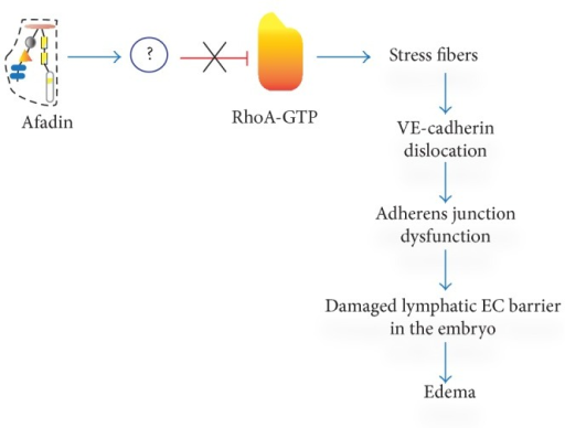 Sequence of regulatory steps leading to damage of lymph endothelial barrier in afadin cKO mouse embryos. In the absence of afadin-mediated inhibition of RhoA activity, actin stress fibers are formed. Thick actin filaments alter the cell shape, dislocate VE-cadherin from cell membrane, compromise adherent junctions, and damage lymph EC barrier. This results in generalized edema and embryonic death.