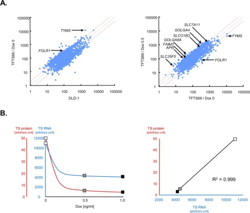 Dox effects on gene expression in TFTS66 cells.A. Microarray data. The expression profiles were compared between the steady state (Dox0) of TFTS66 versus the parental line, DLD-1 (left panel) and between Dox0.5 versus Dox0 in TFTS66 (right panel). Data are shown as scatter plots, and those corresponding to genes of particular interest are indicated by arrows. Red dashed lines represent the log2 fold change. B. The absolute values of the TYMS RNA level were extracted from the microarray data and are plotted against the Dox concentration, in parallel with the TS protein level determined by immunoblotting (left panel). The TS protein levels are then plotted as a function of the RNA level (right panel): open rectangle, Dox0; shaded rectangle, Dox0.5; closed rectangle, Dox1.0.