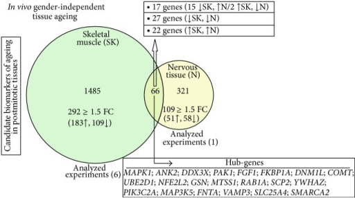"Identification of (gender-independent) coregulated potential biomarkers of ageing in human postmitotic skeletal muscle and nervous tissues. Venn diagram comparing DEGs in skeletal muscle and nervous tissues of young and aged individuals (P value ≤ 0.05; FDR ≤ 0.1; FC > 1.2). In skeletal muscle (light green; 6 experiments analysed), the total number of differentially expressed genes during ageing was 1551, while 387 genes were found to be differentially expressed during ageing of the nervous tissue (light yellow; 1 experiment analysed). The intersection of the two groups contains 66 common DEGs; the identified ""hub-genes"" (GORevenge algorithm) are listed in descending order of their GO terms' linkage number."