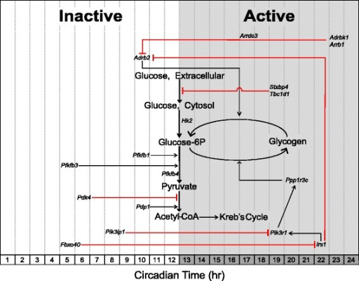 Schematic acrophase diagram of circadian genes involved in carbohydrate metabolic processes. The relative location of the circadian genes (italicized) in respect to the x-axis indicates acrophase or time of peak expression calculated by the JTK_CYCLE algorithm. Location of substrates and pathways does not represent peak substrate concentrations and/or rates of individual pathways as these were not measured in our analysis. White/grey shading is representative of the inactive and active phases, respectively.