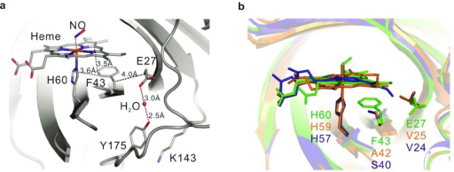 Local structural details of Glu27.Spatial location relative (a) to the heme cofactor and (b) with respect to His60 and Phe43. For comparison, the structures of NP7(green), NP2 (blue) and NP4 (orange) are displayed.