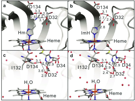 Local structural details of the heme pocket.(a) Hm, (b) ImH, (c) pH 5.8 and (d) pH 7.8. The numbers represent the bond distances (Å).