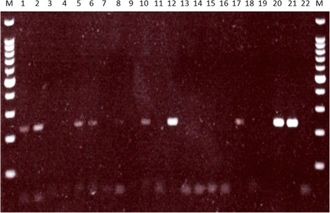 Gel image showing myxoma virus amplification products in mosquito blood-meal samples. The lane order is: 100 bp ladder (M), blood-fed Anopheles atroparvus DNA extracts BF1 (1), BF13 (2), BF14 (3), BF19 (4), BF20 (5), BF31 (6), BF47 (7), BF33 (8), BF39 (9), BF9 (10), BF85 (11), BF93 (12), BF99 (13), BF106 (14), BF108 (15), BF110 (16), BF111 (17), BF18 (18), 113 (19), myxoma virus positive controls (20, 21), negative control (22)