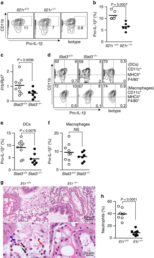 IL-21-STAT3 signaling contributes to the expression of IL-1β during PVM infection.(a,b) Il21r+/+ and Il21r−/− mice were infected with 60 plaque-forming unit PVM for 6 days. Expression of intracellular pro-IL-1β in DCs (CD11c+MHCII+F4/80−) was determined by flow cytometry. Shown are representative plots (a) and summary of data from multiple animals (b). Data from two experiments (n=6). (c–f) Stat3+/+ and Stat3−/− mice were infected with 60 plaque-forming unit PVM for 6 days. (c) RNA was isolated from lungs and Il1b mRNA expression was analysed by RT–PCR. (d–f) Expression of intracellular pro-IL-1β in DCs (CD11c+MHCII+F4/80−) (b,c) and macrophages (CD11c+MHCII+F4/80+) (b,d) was determined by flow cytometry. Shown are representative plots (d) and summary of data of DCs (e) and macrophages (f) from multiple animals. Data are from two experiments (Stat3+/+, n=9; Stat3−/−, n=7). In f, NS, P=0.26. (g,h) Il1r+/+ and Il1r−/− mice were infected with PVM as in a. (g) Representative lung sections (stained with H&E) from Il1r+/+ and Il1r−/− mice after PVM infection for 6 days. Top: Compared with Il1r−/− mice, Il1r+/+ lungs showing severe oedema at day 6 after PVM infection. Bottom: higher magnification; neutrophils (black arrows), macrophages (red arrow) and lymphocytes (blue arrow). (h) Percent neutrophils (CD11bhi Ly6G+, determined by flow cytometry) in lungs after PVM infection for 6 days. Data are from two experiments (total of eight mice per group). Statistical analysis was performed by Student's t-test.