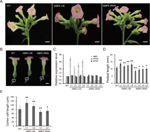Characterization of NtBPL transgenic plants. (A) Inflorescence morphology of wild-type (WT), NtBPL-OE, and NtBPL-RNAi plants. Scale bar=20mm. (B) The flowers of WT, NtBPL-OE, and NtBPL-RNAi, with pedicels of different lengths as indicated by white boxes. Scale bars=10mm. (C) Detection of the expression levels of NtBPL and two closely related homologues NTH20 and NTH22 in NtBPL transgenic lines by qRT-PCR. NtACTIN9 was used as an internal control. (D) Lengths of pedicels in WT, NtBPL-OE, and NtBPL-RNAi plants at anthesis (n=8×5, 40 pedicels from five individual plants per genotype). Values are means ±SE. Asterisks indicate significant differences compared with the WT (*P<0.05, **P<0.01, Student's t-test). (E) Quantification of pedicel cortex cell lengths of WT and NtBPL transgenic plants at anthesis (n=30×3×5, 15 pedicel photographs were prepared from five individual plants, and 30 cortex cells were measured for each photograph). Values are means ±SE. Asterisks indicate significant differences compared with the WT (*P<0.05, **P<0.01, Student's t test).