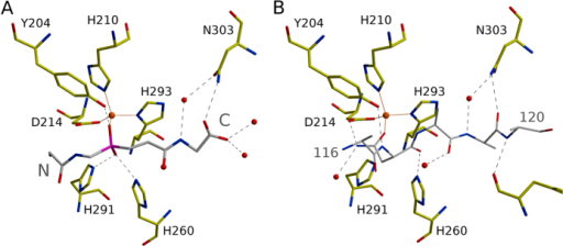Transition state analogue and inhibitory proregion in the LytM substrate binding groove.(A) Tetraglycine phosphinate and (B) proregion (PDB 1QWY).