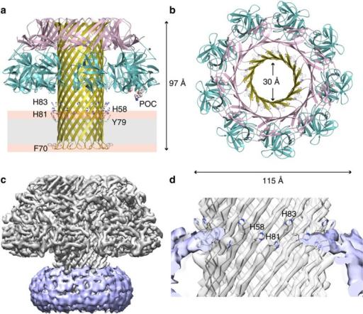 Atomic Model Of The Lysenin Pore Cartoon Representation Open I