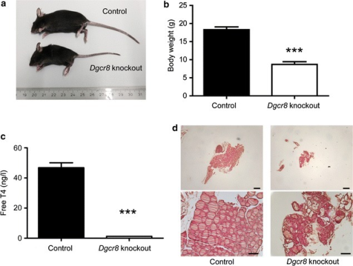 Dgcr8–Pax8Cre knockout animals develop severe hypothyroidism. a and bDgcr8 knockout mice are smaller and have a reduced body weight (control n = 11; knockout n = 9; age 4–5 weeks; p < 0.0001, error bars = SEM). cDgcr8 knockout mice develop hypothyroidism as demonstrated by dramatically decreased fT4 levels in comparison to control littermates (control n = 5; knockout n = 4; age 4–8 weeks; p < 0.0001, error bars = SEM). d H&E staining of Dgcr8 knockout thyroid glands reveals a severely disorganized follicular architecture (top panel 5× magnification, bar 100 µm; bottom panel 20× magnification, bar 50 µm)
