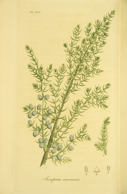 <p>Colored engraving of a flowering common juniper.</p>