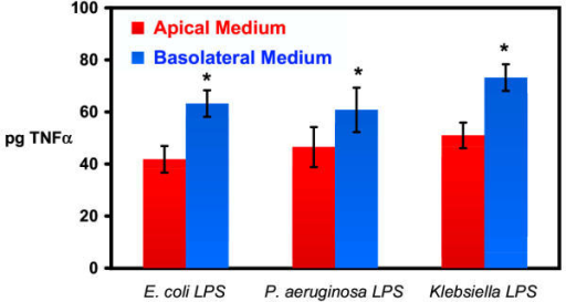 Effects of LPS from different bacteria on TNF-α secretion Release of TNF-α into the apical and basolateral medium by cultured MGBE exposed to 100 μg/mL LPS from various bacteria for two hours. TNF-α was measured by immunoassay and calculated as the total pg present in the apical and basolateral medium. Each treatment was done in triplicate and assay repeated twice more with E. coli LPS and once more with P. aeruginosa and K. pneumoniae LPS. Values represent the mean of each treatment (n = 9 for E. coli LPS and n = 6 for P. aeruginosa and K. pneumoniae LPS) ± standard error. There was a statistical difference between the amount of TNF-α in the basal versus apical medium as measured by paired Student's t-test (* = p < 0.01).