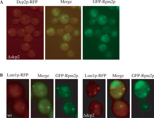 Rpm2p and Dcp2p colocalize to P bodies. Cells carrying both GFP-RPM2 and DCP2-RFP in Δdcp2 strain (A); and GFP-RPM2 and LSM1-RFP in either wt or Δdcp2 strain (B), were grown in selective medium in the presence of galactose for 6 h, fixed and fluorescence determined using microscope.