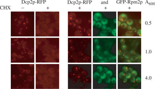 Disassembly of P bodies by translational inhibitor cycloheximide (CHX) does not occur in cells overexpressing GFP-Rpm2p. Cells expressing either Dcp2p-RFP or both, Dcp2p-RFP and GFP-Rpm2p were grown in galactose synthetic medium and P bodies visualized at different cell culture densities after incubation with or without CHX for 30 min. The different cell densities at A600 are indicated at the right side. For observation, cells were washed three times in water with or without cycloheximide without fixation.