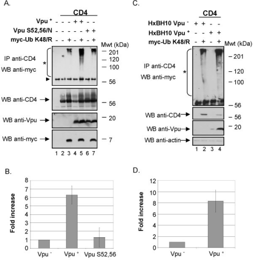 Effect of Vpu on CD4 ubiquitination. A. Vpu-mediated ubiquitination of CD4 wt when CD4 is retained in the ER through treatment with BFA. HEK 293T cells were mock-transfected or co-transfected with 1 μg of SVCMV CD4 wt, 8 μg of SVCMV Vpu+ or the phosphorylation-defective Vpu mutant SVCMV Vpu S52,56/N and 8 μg of the TDN mutant his(6)/c-myc-Ub K48/R. Samples were then treated as described in the materials and methods section. CD4 molecules were immunoprecipitated with anti-CD4 polyclonal antibodies prior to western-blot analysis with anti-myc monoclonal antibodies. (triangle) indicates the position of the heavy chains of anti-CD4 antibodies. B. Quantitative analysis of ubiquitinated CD4 conjugates. (asterisk) represents the area of the autoradiogram that was used for quantitation of CD4-Ub conjugates. The histogram shows the relative levels of ubiquitinated CD4 conjugates in presence or absence of a functional Vpu. Relative CD4-Ub conjugate levels were evaluated by quantitation of the signal detected in the area delineated on the autoradiogram relative to total CD4 as determined by quantitation of the band detected with the anti-CD4 antibodies on whole cell lysate. The relative level of ubiquitinated CD4 detected in absence of Vpu was arbitrarily set at 1. The data represent results from seven experiments. C. Vpu-mediated ubiquitination of CD4 wt in condition where CD4 is retained in the ER through binding with HIV-1 Env. HEK 293T cells were mock-transfected or co-transfected with 1 μg of pHIV CD4 wt, 10 μg of provirus encoding Vpu- (HxBH10-vpu-) or Vpu+ (HxBH10-vpu+) and 20 μg of his(6)/c-myc-Ub K48/R. Samples were then treated as in A but in absence of BFA. D. Quantitative analysis showing the relative levels of ubiquitinated CD4 detected in two independent experiments. Relative levels of ubiquitinated CD4 conjugates were determined as described in B.