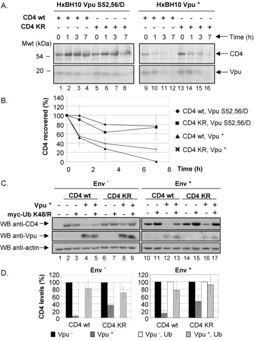 Effect of Vpu on CD4 molecules lacking lysine residues in the cytoplasmic tail. A. Analysis of CD4 wt and CD4 KRcyto turnover in presence or absence of functional Vpu by pulse-chase labeling and immunoprecipitation. HEK 293T cells were mock-transfected or co-transfected with 2 μg of pHIV CD4 wt or pHIV CD4 KRcyto and 20 μg of provirus encoding Vpu+ (HxBH10-vpu+) or phosphorylation-defective Vpu mutant (HxBH10-vpu S52,56/D). Cells were pulse-labeled with [35S]methionine and [35S]cysteine and chased in complete medium for the indicated time intervals. Cells were then lysed and immunoprecipitated sequentially with anti-CD4 antibodies first (polyclonal and monoclonal) and then with anti-Vpu antibodies. B. Using quantitative scanning of CD4 bands from two independent experiments, the percentage of CD4 remaining over time as compared to time 0 is plotted for each transfection. C. Effect of Vpu on steady-state CD4 wt and CD4 KRcyto levels. HEK 293T cells were mock-transfected or co-transfected with 1 μg of pHIV CD4 wt or pHIV CD4 KRcyto and 10 μg of proviruses encoding Vpu- or Vpu+ in addition to 25 μg of the his(6)/c-myc-Ub K48/R expressor. In the left panel (Env-), a similar experiment was performed except that HEK 293T cells were co-transfected with 10 μg of envelope-defective provirus (HxBc2-pr-, vpu-, env- or HxBH10-pr-, vpu+, env-) and treated with BFA for 2 h prior to lysis. Cell lysates were then treated as described in the materials and methods section. D. Quantitative analysis of steady-state CD4 levels. CD4 levels in presence of absence of his(6)/c-myc-Ub K48/R were arbitrarily set at 100%. The levels of CD4 in presence of Vpu are shown relative to the corresponding controls. These results are representative of the data obtained in three independent experiments for Env- and five independent experiments for Env+.