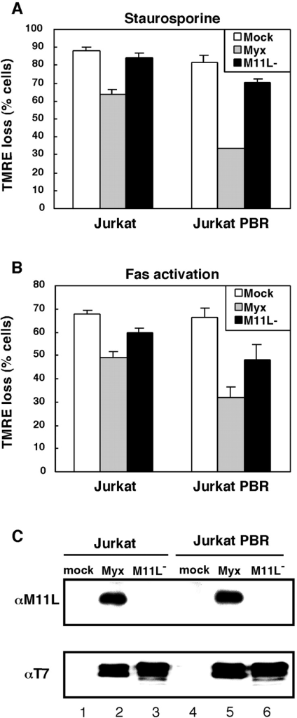 PBR expression augments the protective effects of myxoma virus infection. Jurkat or Jurkat-PBR cells were mock-infected (mock) or infected with myxoma virus (Myx) or the M11L knockout virus (M11L−). The percentage of cells that underwent a loss of TMRE fluorescence as a result of staurosporine treatment (A) or Fas stimulation (B) is shown. Results are the average of three independent experiments (±SD). In parallel, Jurkat or Jurkat-PBR cells that had been mock- or virus-infected were analyzed for the presence of M11L using immunoprecipitation and immunoblotting (C, top panel). Alternatively, virus infection was verified by the production of the early viral protein, M-T7 (C, bottom panel).