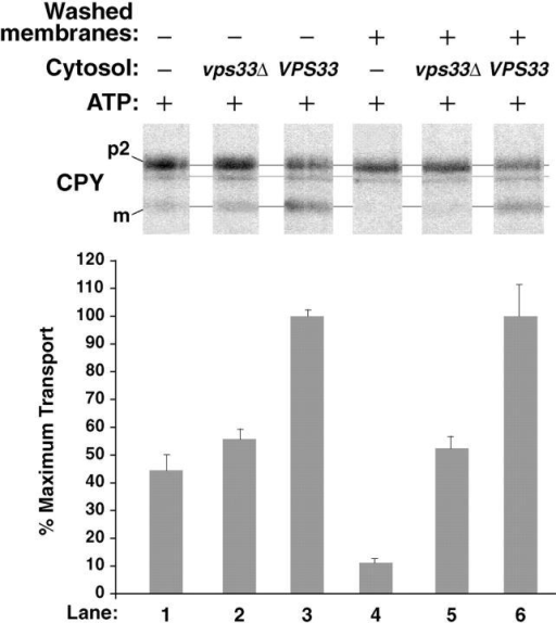 Cytosolic extracts from a vps33  strain are deficient in stimulating intercompartmental transport in the cell-free system. Radiolabeled donor membranes and nonradiolabeled acceptor membranes were prepared from wild-type yeast spheroplasts (SEY6210). Standard reaction conditions (Fig. 3) were used to incubate the donor and acceptor membranes with ATP (plus regeneration components) and cytosol (5 mg/ml) from the VPS33 or vps33Δ strains, as indicated. The reactions in lanes 4–6 contained donor and acceptor membranes that had been washed once with lysis buffer (similar to Fig. 3, lanes 10 and 11) while the reactions in lanes 1–3 contained unwashed membranes. The bar graph depicts the average transport efficiency from three independent determinations and is normalized to the percent of maximal transport.