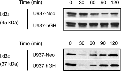 Effect of hGH on IκB degradation. Whole-cell extracts from the indicated cell lines stimulated with TNF-α (10 ng ml−1) for 0–120 min were subjected to Western blotting using anti-IκB Abs under the conditions described in Materials and Methods.