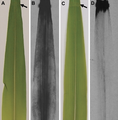 gamma radiation as a mutagen on zea mays growth Present and potential human exposures to high-let radiation  at high dose  rates, but some increase in rbe  gamma rbes for spermatogonial irradiation   seeds--maize zea mays seeds--nigella damascena irradiations high-let.
