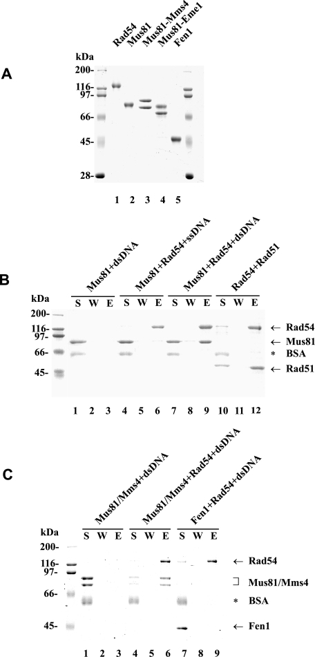 Physical interaction of Rad54 with Mus81 and Mus81·Mms4. A, purified Rad54 (lane 1), Mus81 (lane 2), Mus81·Mms4 (lane 3), Mus81·Eme1 (lane 4), and Fen1 (lane 5) were resolved by SDS-PAGE and stained with Coomassie Blue. B, Mus81 (4 μg) was mixed with S-protein-agarose in the presence of dsDNA (lane 1–3) or with S-protein-agarose beads coated with Rad54 (4 μg) in the presence of ssDNA (lanes 4–6) or dsDNA (lanes 7–9). The beads were incubated with DNase I (2 units), washed, and treated with SDS to elute bound proteins. The supernatant that contained unbound proteins (S), the wash (W), and the SDS eluate (E) were analyzed by SDS-PAGE. As a positive control, Rad51 (4 μg) was mixed with S-protein-agarose beads coated with Rad54 (4 μg) in the absence of DNA (lanes 10–12) and then analyzed. C, Mus81·Mms4 (3 μg) was mixed with S-protein-agarose beads (lanes 1–3) or S-protein-agarose beads coated with Rad54 (3 μg; lanes 4–6) in the presence of dsDNA. As a negative control, Fen1 (3 μg) was mixed with S-protein-agarose beads coated with Rad54 (3 μg) in the presence of dsDNA (lanes 7–9) and then analyzed. BSA, bovine serum albumin.